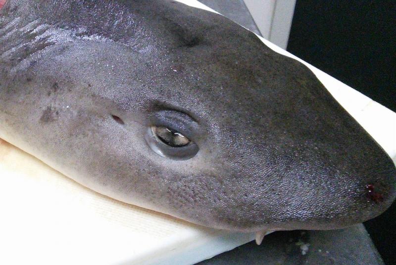 ドチザメが集まる場所と味のメモ