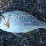 ウミタナゴは川魚?それとも海魚?とって食べてみた