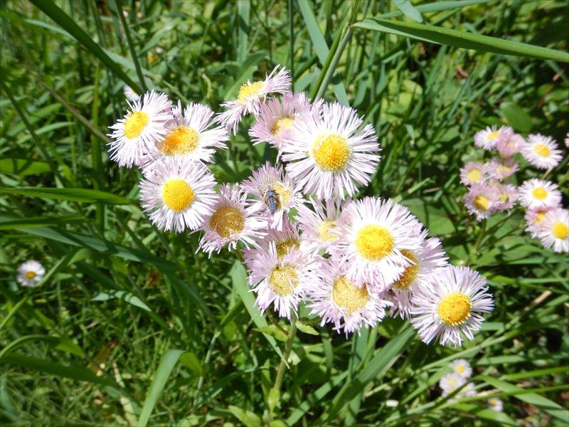 ハルジオンは徒歩1分でとって食べられる春菊だった