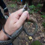 アオダイショウとおっかなびっくり初めての蛇活