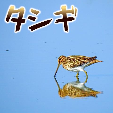 タシギはスナイパー(sniper)の語源。そして美味しい!