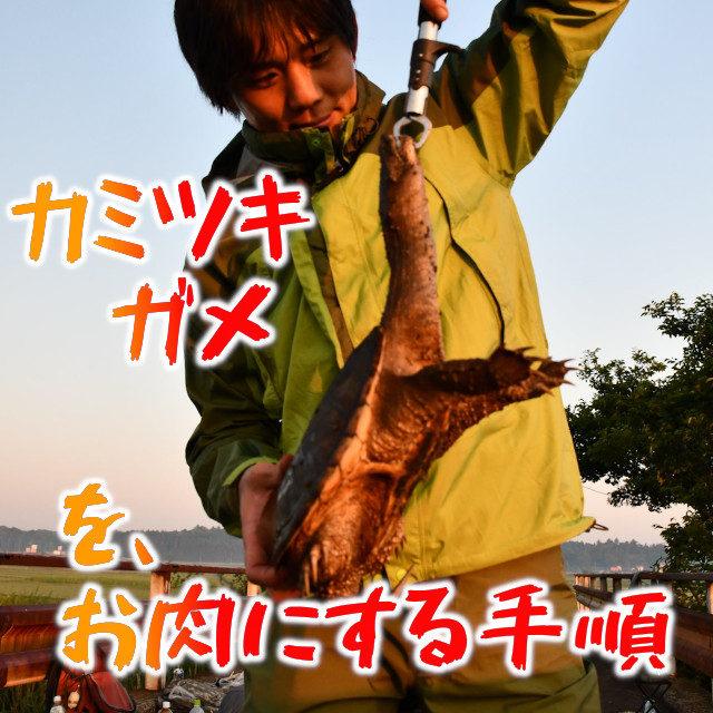 カミツキガメをお肉にする手順(前編) ~アライグマでも分かるカミツキガメのさばきかた~
