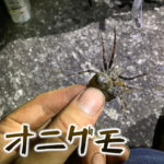 オニグモがデカいし沢山いたのでとって食べてみた【昆虫注意】