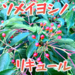 ソメイヨシノの野良サクランボで桜リキュールを作ってみた