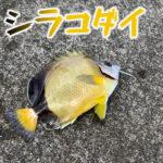 シラコダイという可愛いチョウチョウウオの仲間が釣れたので食べてみた