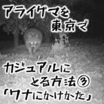 アライグマを東京でカジュアルにとる方法③ アライグマの罠にかけ方