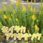 セイタカアワダチソウはマズいが茎と花は食べられる!