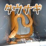 タウナギを東京でとって食べた話