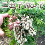ニセアカシアは花を食べる山菜。もふもふ天を食べてみた