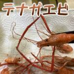 テナガエビは釣って楽しいデカいエビ
