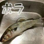ボラを羽田の仕事帰りに釣って食べる